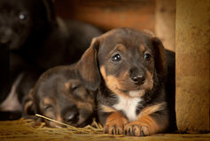 Dachshund puppies 3 weeks old. Purebred over wooden  background Stock Image