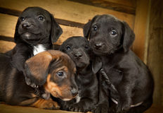 Dachshund puppies 3 weeks old. Purebred over wooden  background Royalty Free Stock Images