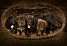 Dachshund puppies 3 weeks old Stock Image
