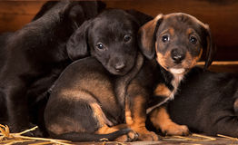 Dachshund puppies 3 weeks old Royalty Free Stock Photography