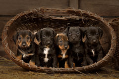 Dachshund puppies 3 weeks old Stock Images