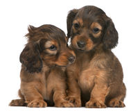 Dachshund puppies, 5 weeks old, sitting. In front of white background Stock Photo