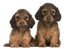 Dachshund puppies, 5 weeks old, sitting. In front of white background Stock Image