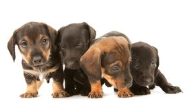 Dachshund puppies embracin Royalty Free Stock Image