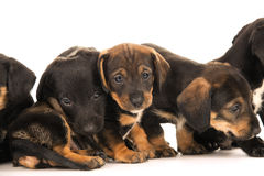 Dachshund puppies embracin Royalty Free Stock Photos