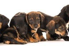 Dachshund puppies embracin Royalty Free Stock Photos
