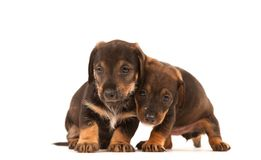 Dachshund puppies embracing - Stock Photo