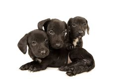 Dachshund puppies embracing Stock Photography