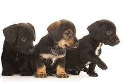 Dachshund puppies embracing Royalty Free Stock Images