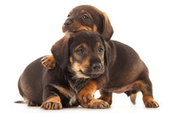 Dachshund puppies embracing - Royalty Free Stock Images
