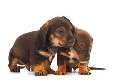 Dachshund puppies embracing - Stock Photos