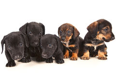 Dachshund puppies Stock Photos