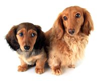 Dachshund puppies. Longhair dachshund puppy and mother, isolated on white Royalty Free Stock Photos
