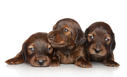 Dachshund puppies posing on a white background. Portrait of three Dachshund puppies (two weeks) posing on white background Royalty Free Stock Photo