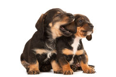 Dachshund puppies sharing their secrets. Studio shot Royalty Free Stock Photos