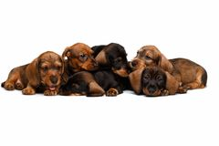 Dachshund puppies Stock Image