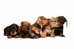 Dachshund puppies Stock Photo