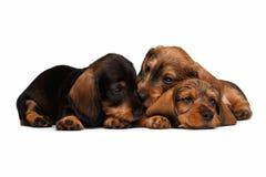 Dachshund puppies Stock Photo