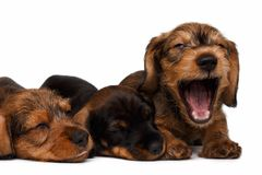 Dachshund puppies Royalty Free Stock Photography