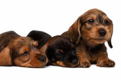 Dachshund puppies. Three Dachshund puppies lies on white background Royalty Free Stock Photography