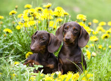Dachshund  puppies. Tvo purebred dachshund and dandelions Royalty Free Stock Images