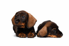 Dachshund puppies Stock Image