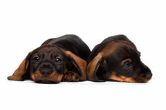 Dachshund puppies Stock Photography