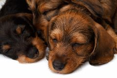 Dachshund puppies. Two Dachshund puppies lies on white background Royalty Free Stock Photo