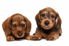 Dachshund puppies Royalty Free Stock Images