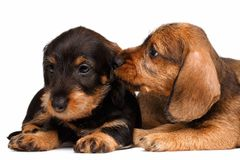 Dachshund puppies. Two Dachshund puppies lies on white background Stock Photos