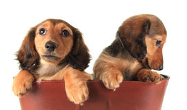 Dachshund puppies. Two Longhair dachshund puppies, studio isolated on white Stock Images