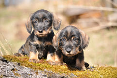 Dachshund puppies. Two wirehired dachshund puppies are looking for adventures Stock Photography