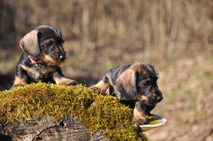 Dachshund puppies. Two wirehired dachshund puppies are looking for adventures Royalty Free Stock Photo