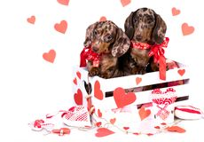 Puppies in Valentine`s Day greeting card stock photo