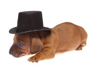Dachshund puppy 02 Royalty Free Stock Photos