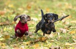 Free Dachshund Puppy Stock Photo - 101663150