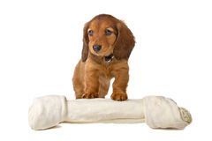 Dachshund puppy. Cute standard dachshund puppy and a white bone, isolated on a white background Stock Photos