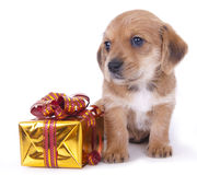 Dachshund puppy. Dachshund  puppy and gifts in gold wrappers Stock Images