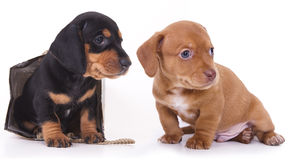 Dachshund puppy. Purebred Dachshund puppy and gifts in gold wrappers Royalty Free Stock Photos