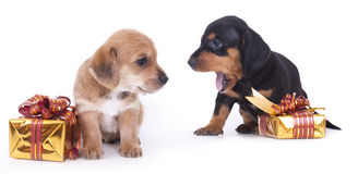 Dachshund puppy. Purebred Dachshund puppy and gifts in gold wrappers Stock Photography