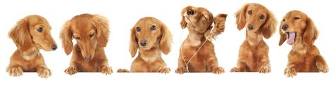 Dachshund puppy. Six Dachshund puppy toppers, add your own text or product Royalty Free Stock Photography