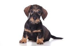 Dachshund puppy Stock Images