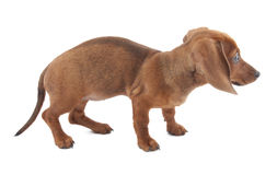 Dachshund puppy, 3 months old Stock Photos