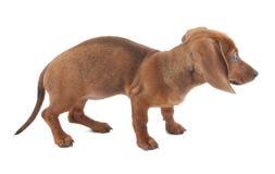 Dachshund puppy, 3 months old Stock Photos