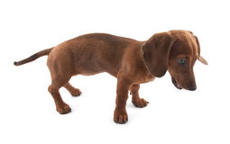 Dachshund puppy, 3 months old Royalty Free Stock Photos