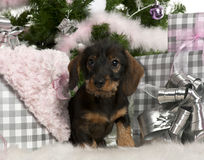 Dachshund puppy, 3 months old, sitting Royalty Free Stock Photo