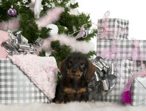 Dachshund puppy, 3 months old, sitting Stock Photo