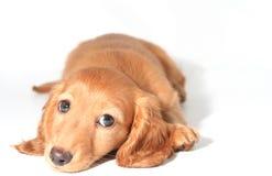 Dachshund puppy Royalty Free Stock Photography