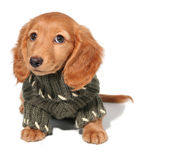 Dachshund puppy. Miniature dachshund puppy in a winter sweater Royalty Free Stock Images