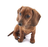 Dachshund Puppy Royalty Free Stock Images